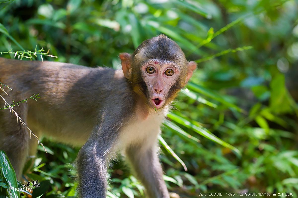 武陵源游记  猴子特写
